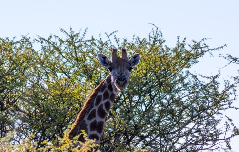 A giraffe on Kambaku Game Reserve, Namibia.