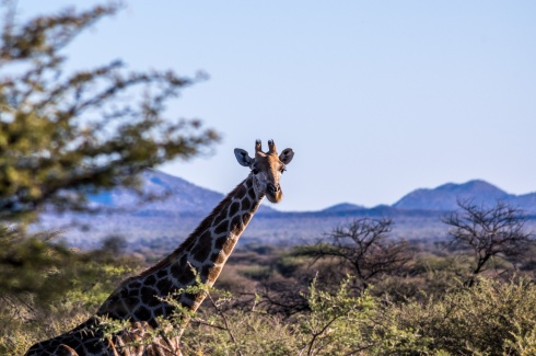 Giraffe on Kambaku Game reserve, Namibia.