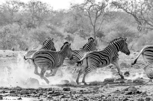 Burchell's plains zebras flee from an approaching hyena in Etosha National Park, Namibia.