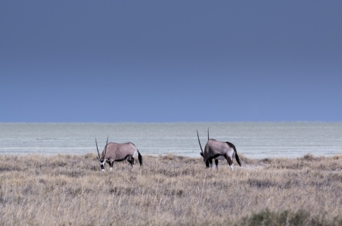 A couple of oryx (gemsbok) in front of the Etosha Pan, Namibia.