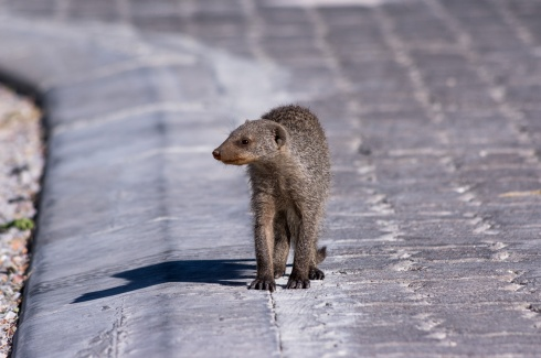 A banded mongoose strolls around in Halali Camp, Etosha National Park, Namibia.