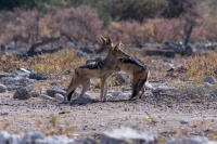 A couple of black-backed jackals hug it out in Etosha National Park, Namibia.