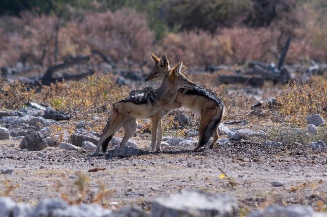 A couple of black-backed jackals hug it out in Etosha National Park, Namibia.