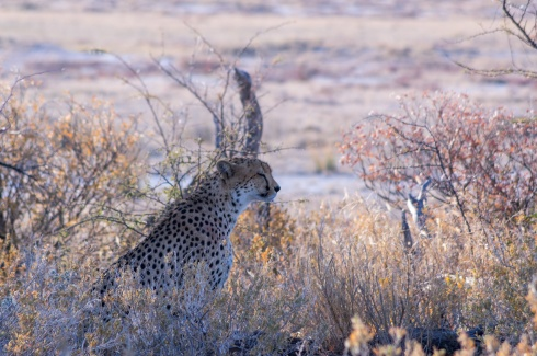 A cheetah in Etosha National Park, Namibia.
