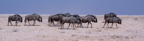 A herd of gnus in Etosha National Park, Namibia.