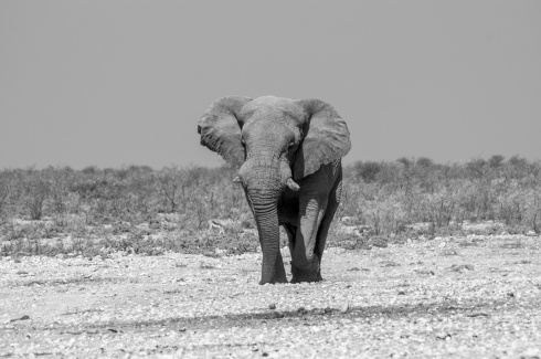 A giant elephant approaches a waterhole in Etosha National Park, Namibia.