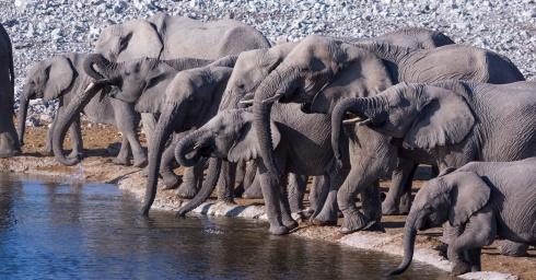 Elephants drink at Okaukuejo Waterhole, Etosha, Namibia.