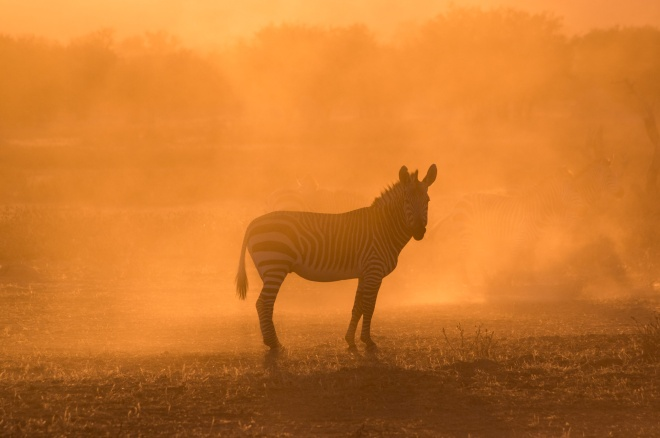 A zebra in the morning dust at Hobatere Game Reserve, Namibia.