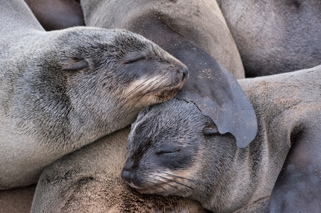 Cape fur seals are taking a nap in Cape Cross Seal Reserve, Namibia.