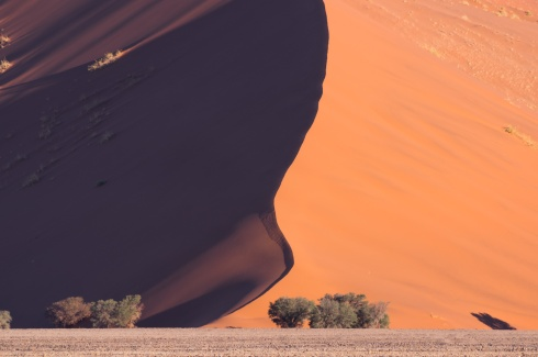Cemelthorn trees are dwarfed by one of the giant dunes of the Namib desert in Namib-Naukluft National Park, Namibia.