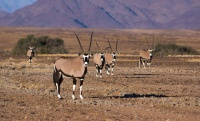 A group of oryx (gemsbok) are curiously looking into the camera in Namib-Naukluft National Park, Namibia.