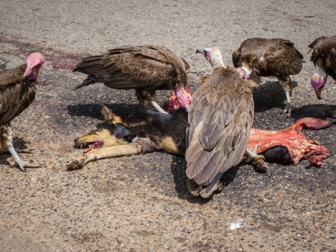 Vultures are having a dog for lunch in Agona Swedru, Ghana.