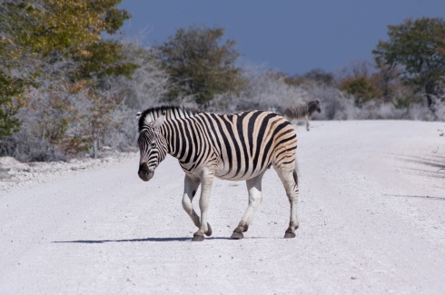 A zebra crossing a road in Etosha National Park, Namibia.
