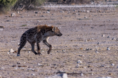 A spotted hyena approaches a waterhole in Etosha National Park, Namibia.