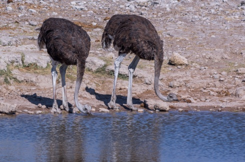 Two ostriches drinking from a waterhole in Etosha National Park, Namibia.