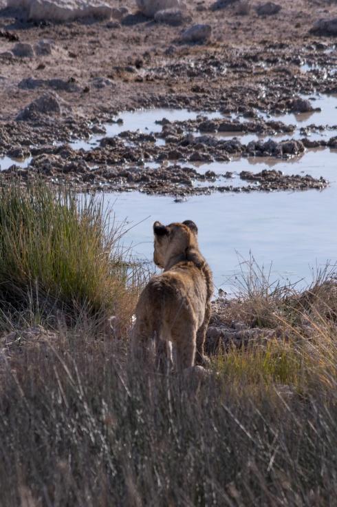 Lion cub in Etosha, Namibia.