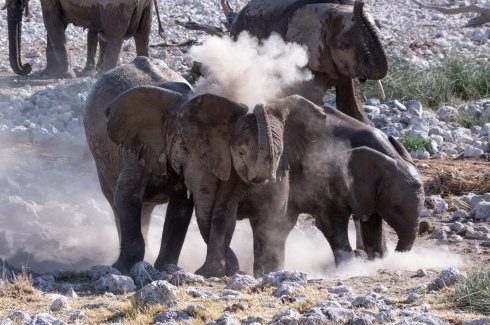 A gang of young elephants enjoys a dust bath in Etosha National Park, Namibia.