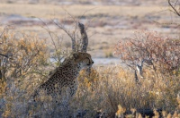 A cheetah resting under a tree in Etosha, Namibia.
